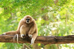 Gibbon at Nam Cat Tien National Park vietnam tour packages from ho chi minh city