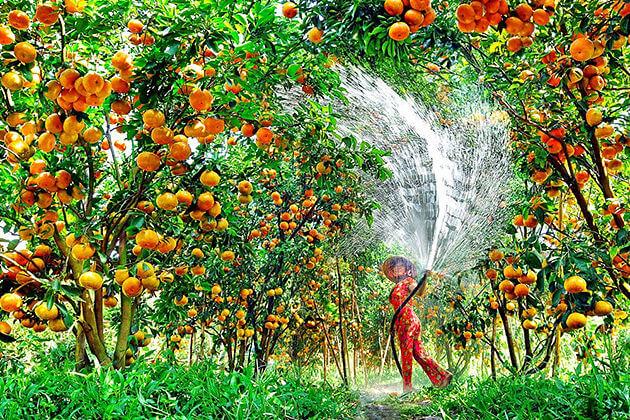 Mekong Delta Orchard