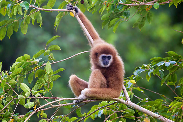 Yellow Gibbon in Nam Cat Tien National Park