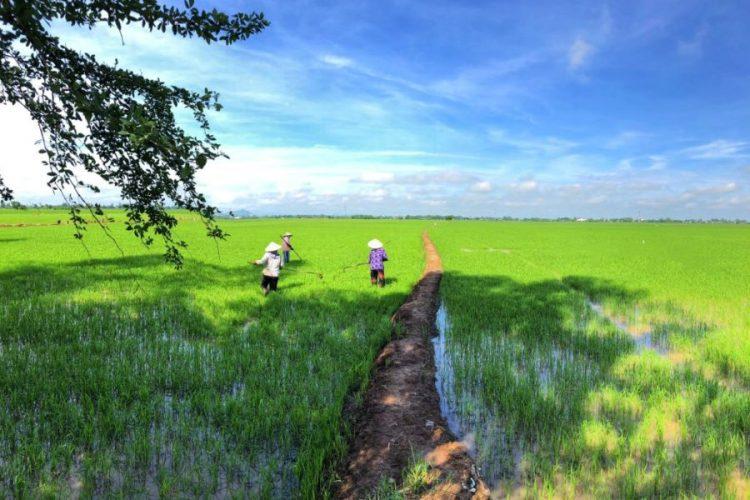 mekong delta rice fields